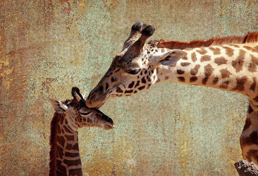 Giraffe Photograph - A Mothers Kiss by Judy Vincent