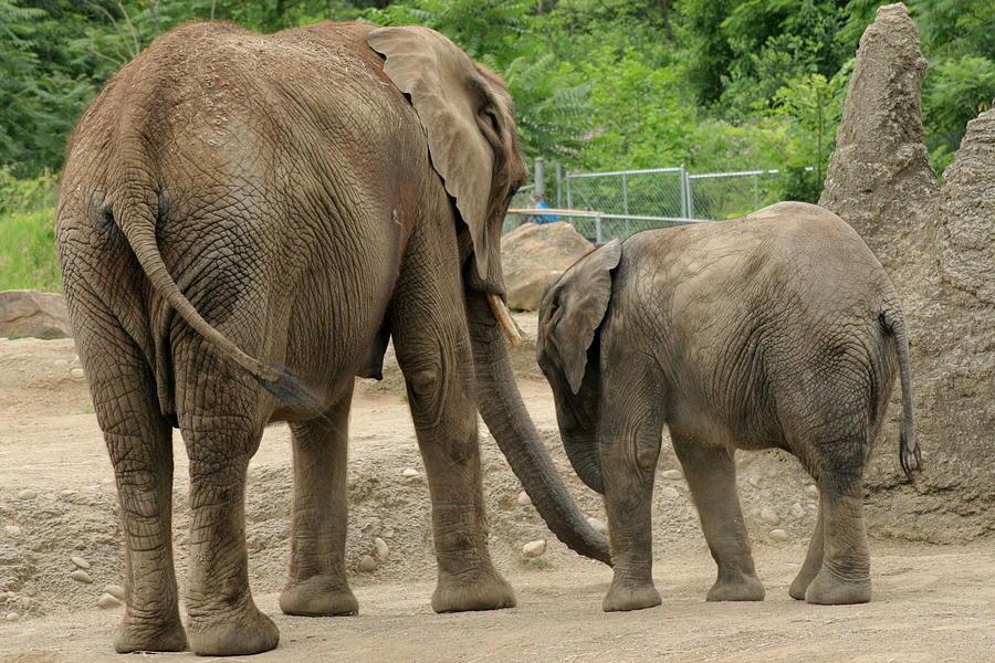 Elephant Photograph - A Mothers Love by ShadowWalker RavenEyes Dibler