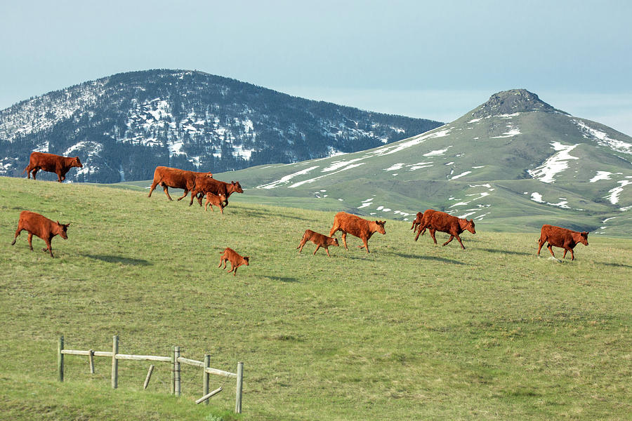 Cowboy Photograph - A Moving Herd by Todd Klassy