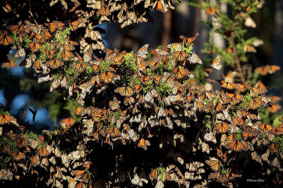 A Multitude of Monarchs by Deana Glenz