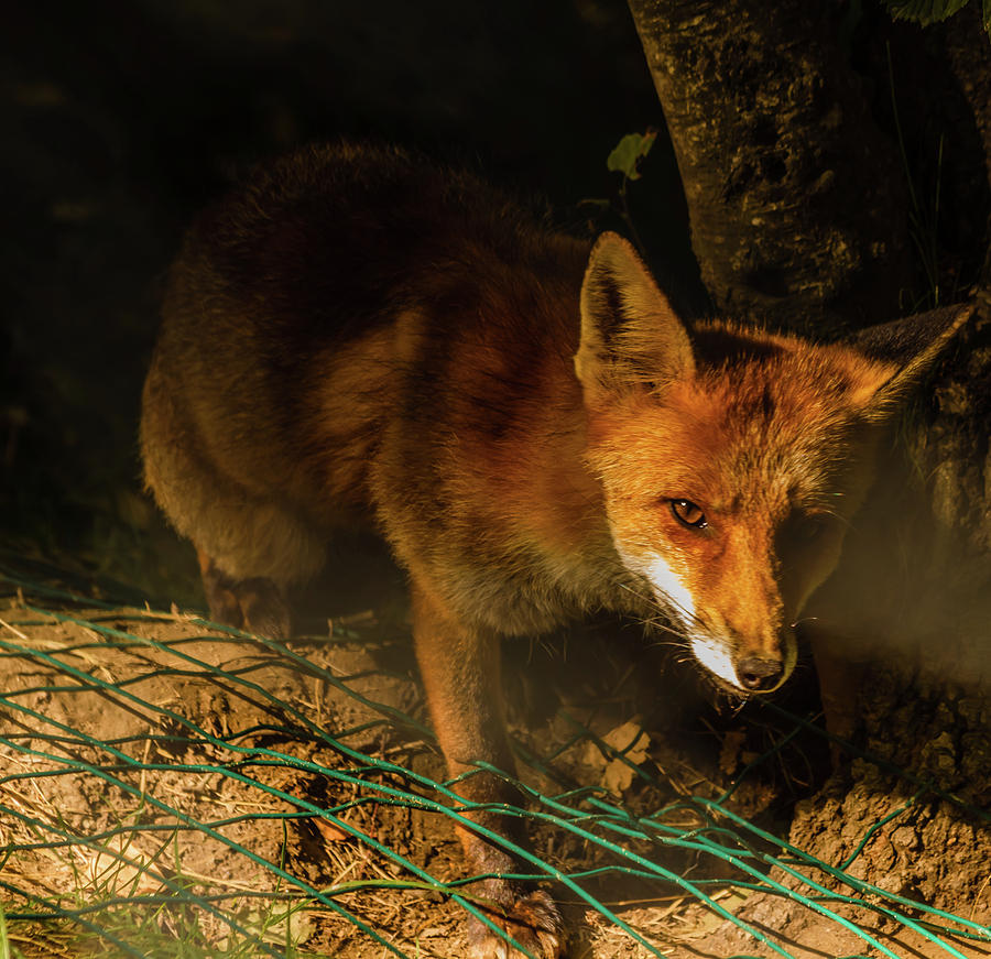 Animal Photograph - A Nocturne  Meeting With A Fox In The Woodland by Susanna Mattioda