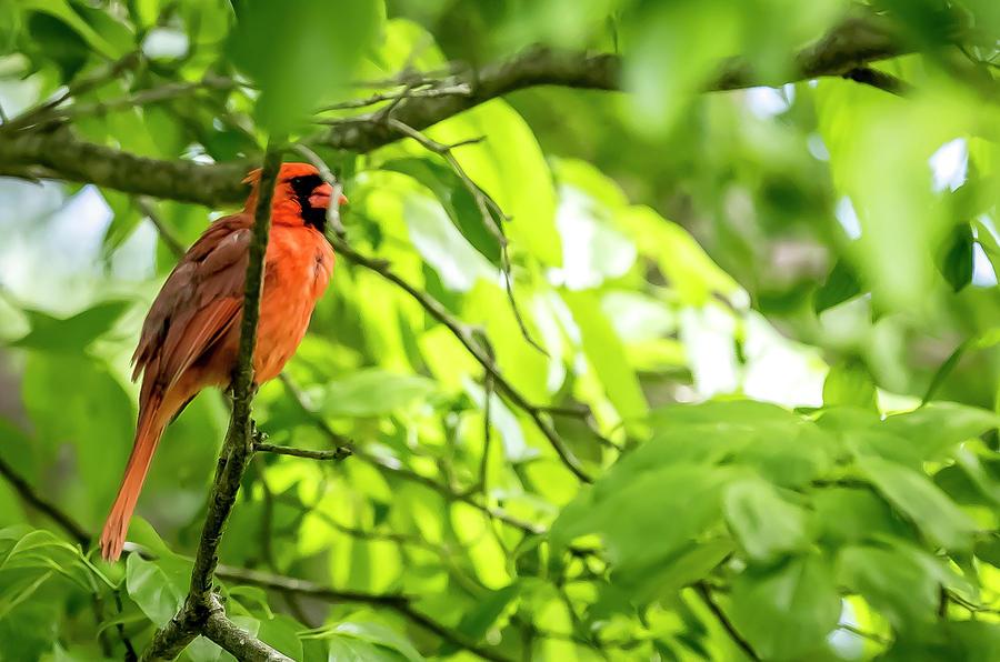 Bird Digital Art - A Northern Cardinal Enjoying The Springtime by Ed Stines