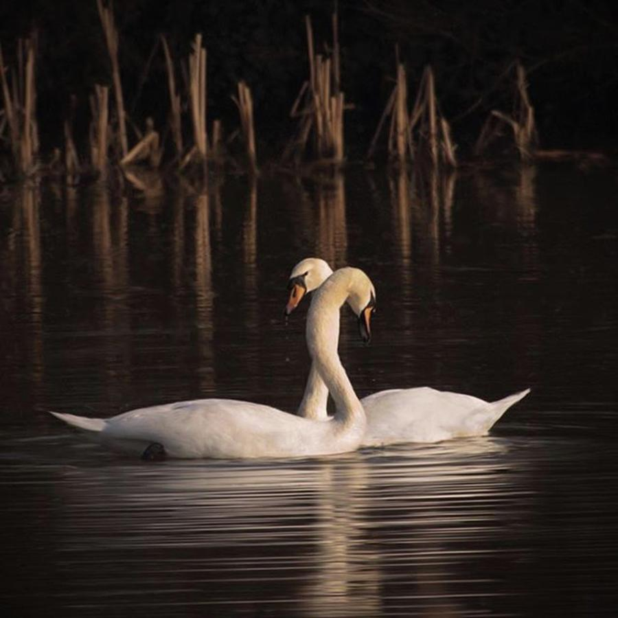Nature Photograph - A Painting Of A Pair Of Mute Swans by John Edwards