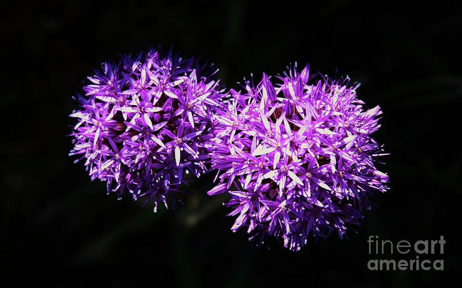 A Pair Of Alliums Photograph by Poets Eye