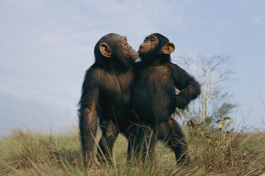 https://images.fineartamerica.com/images/artworkimages/mediumlarge/1/a-pair-of-orphan-chimpanzees-michael-nichols.jpg