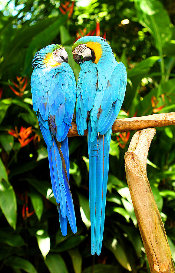 Bird Photograph - A Pair Of Parrots by Marilyn Hunt