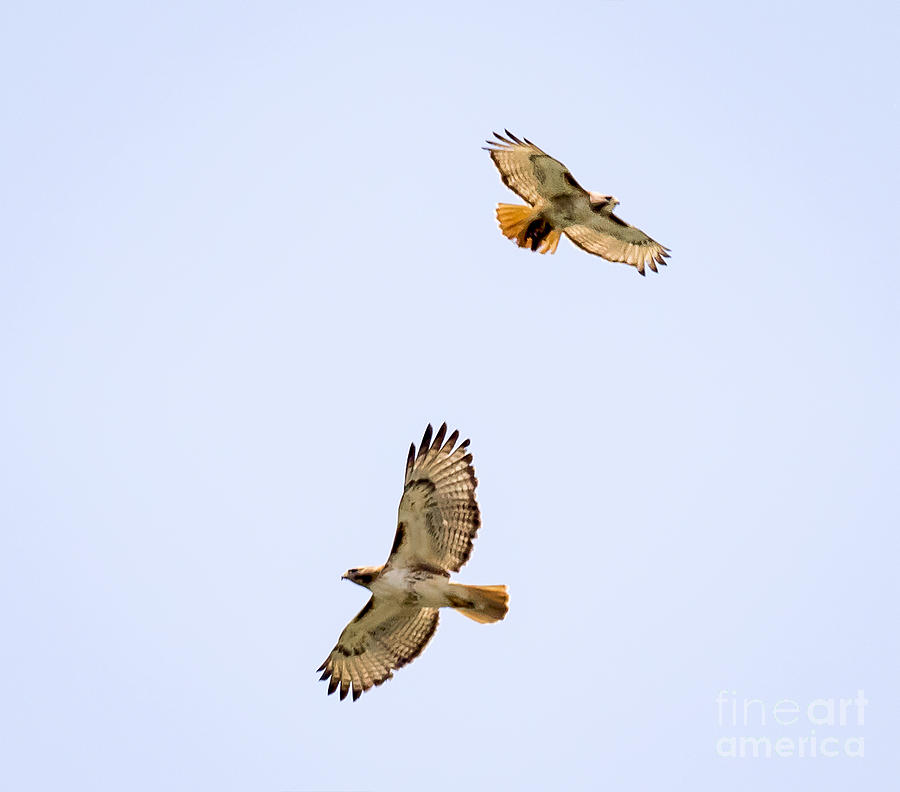 Canon Photograph - A Pair Of Red-tailed Hawks Flying Around by Ricky L Jones