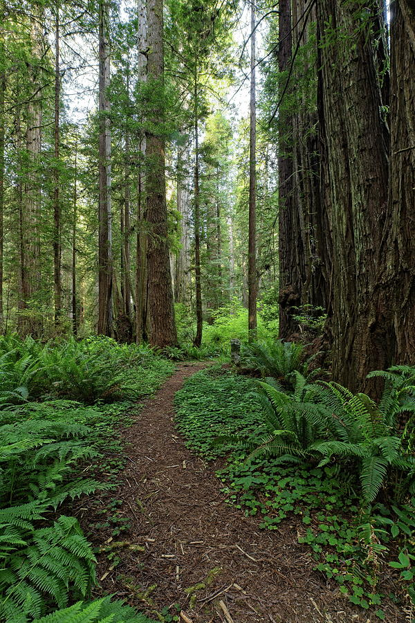 A Path in the Redwood Forest by Harold Rau