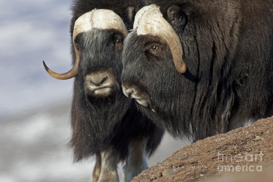 Musk Ox Photograph - A Penny For Your Thoughts by Tim Grams