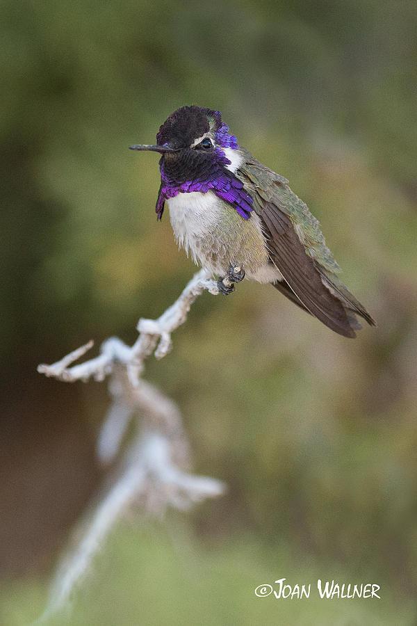 California Photograph - A Perched Costas Hummingbird by Joan Wallner