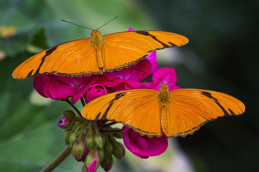 Julia Butterfly Photograph - A Perfect Pair  by Saija  Lehtonen