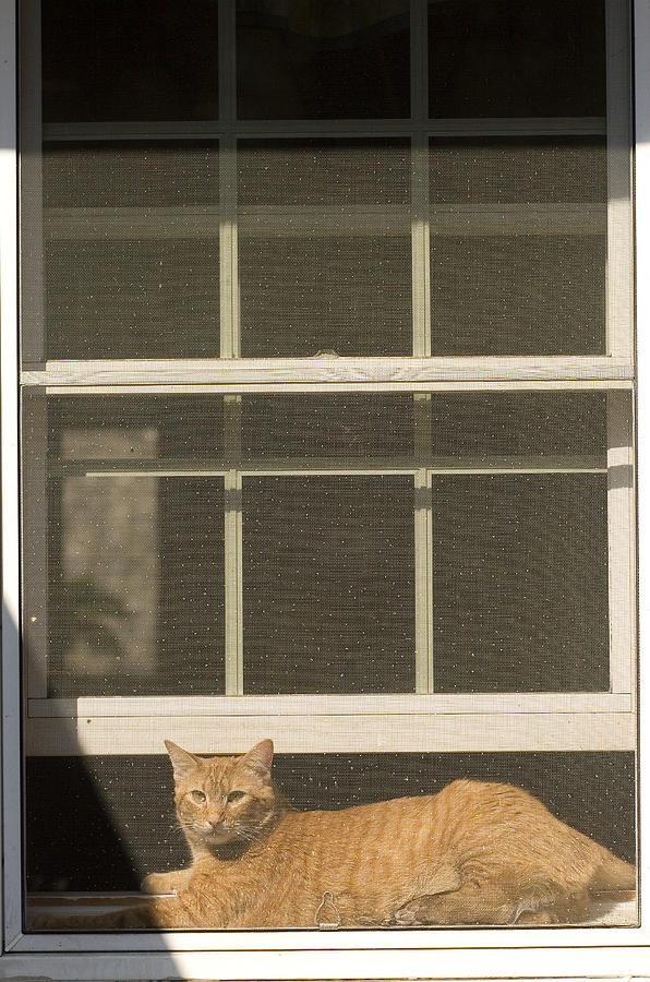 Day Photograph - A Pet Cat Resting In A Screened Window by Charles Kogod