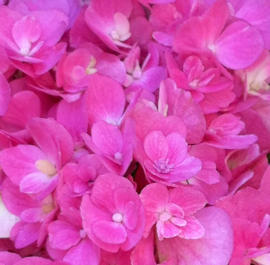 A Pink Bed Of Flowers Photograph
