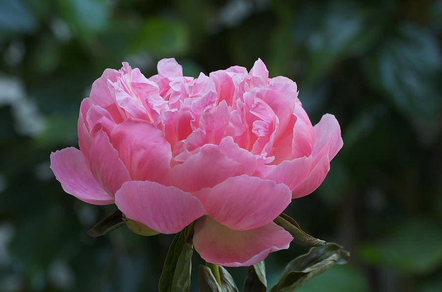 Peony Photograph - A Pink Peony by Susan Heller