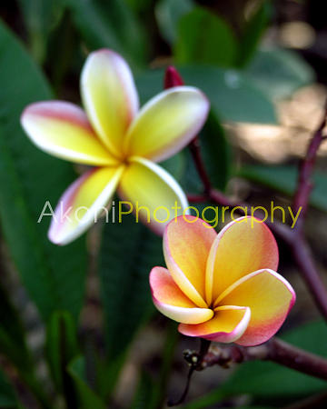 Plumeria Photograph - A Plumeria Blossoms by Anthony Valadon