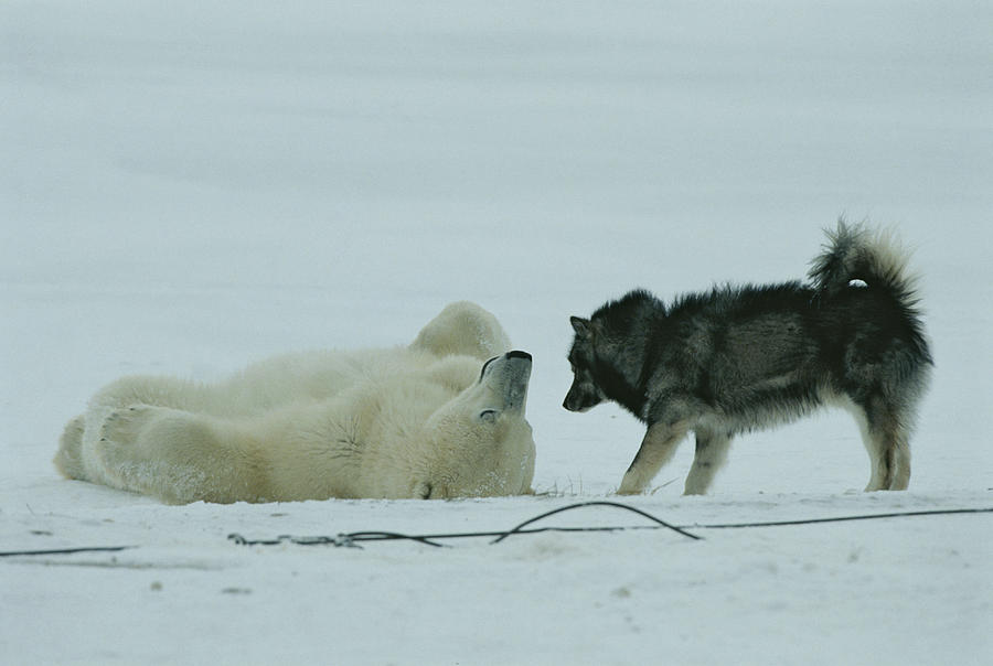 Animals Photograph - A Polar Bear Lolls On His Back While by Norbert Rosing