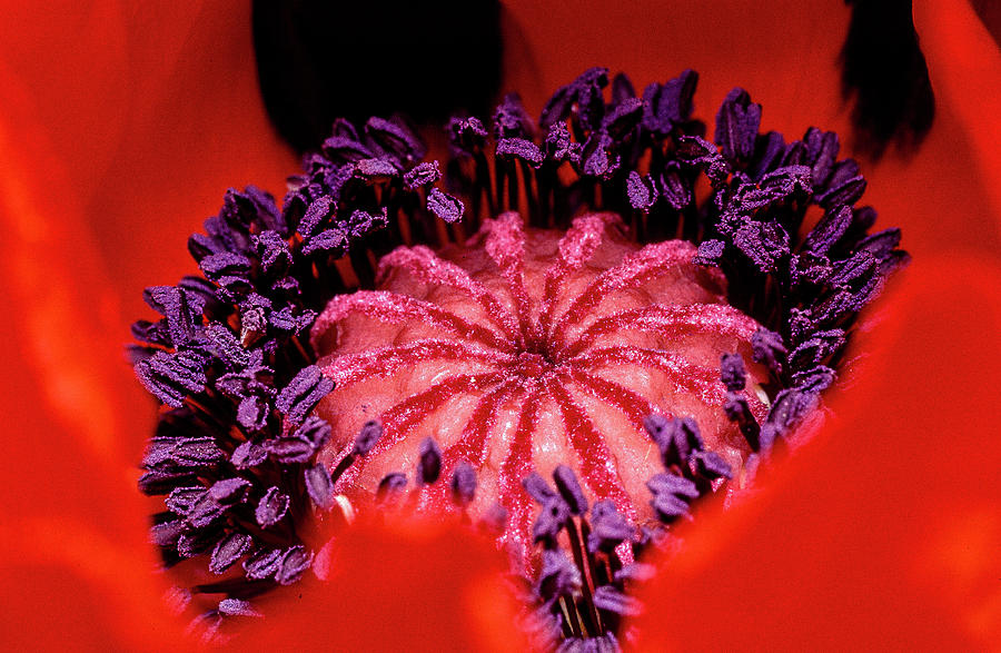 Flowers Photograph - A Poppys Heart by Gary Shepard