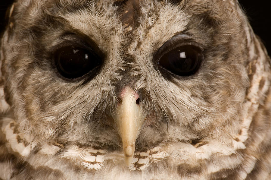 Animal Photograph - A Portrait Of A Barred Owl Strix Varia by Joel Sartore
