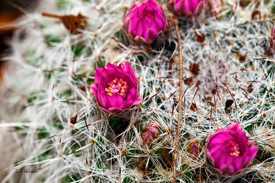Cactus Photograph - A Prickly Bed by Christopher Holmes