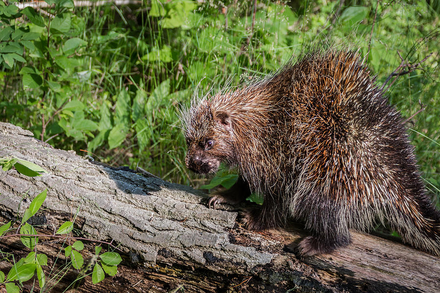Porcupine Photograph - A Prickly Situation by Sandy Roe