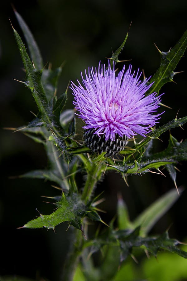 A Purple Thistle by Ken Barrett