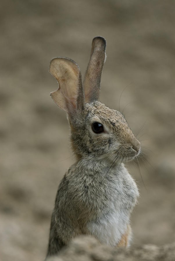 Nobody Photograph - A Rabbit From The Omaha Zoo by Joel Sartore