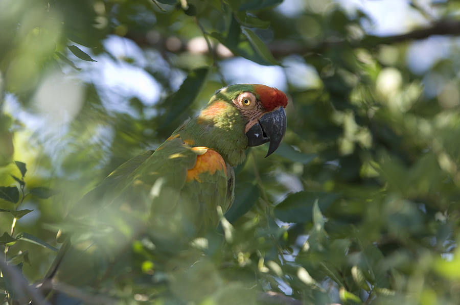 Photography Photograph - A Red-fronted Macaw At The Sedgwick by Joel Sartore