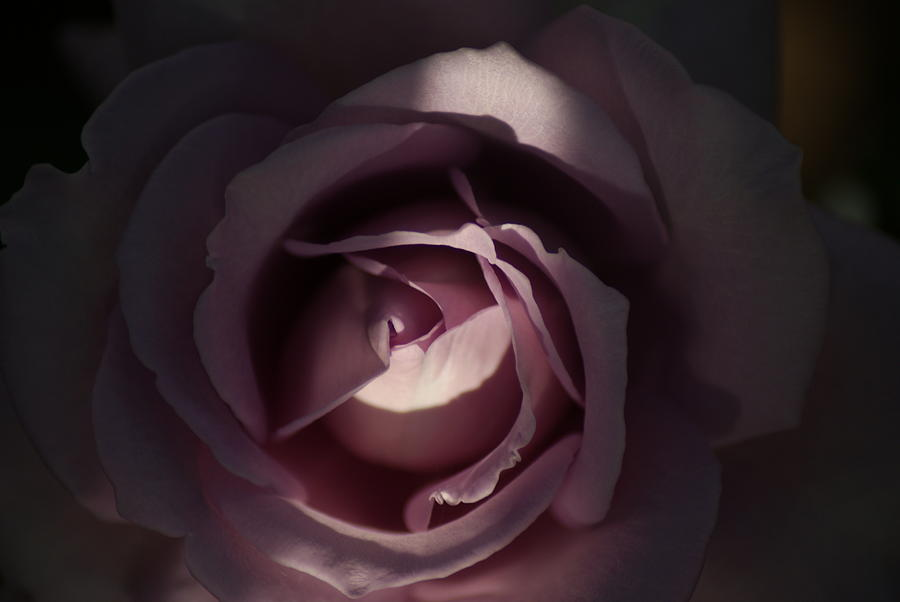 Flower Photograph - A Rose By Any Name by Ron Read