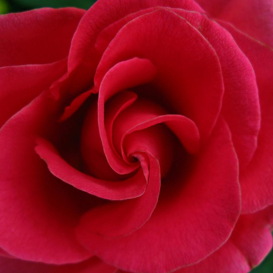 A Rose Is A Rose Photograph by Darlene Grover