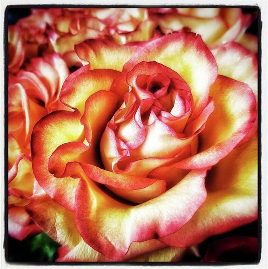 A Rose Is A Rose Is A Rose. A Gertrude Photograph by Mr Photojimsf