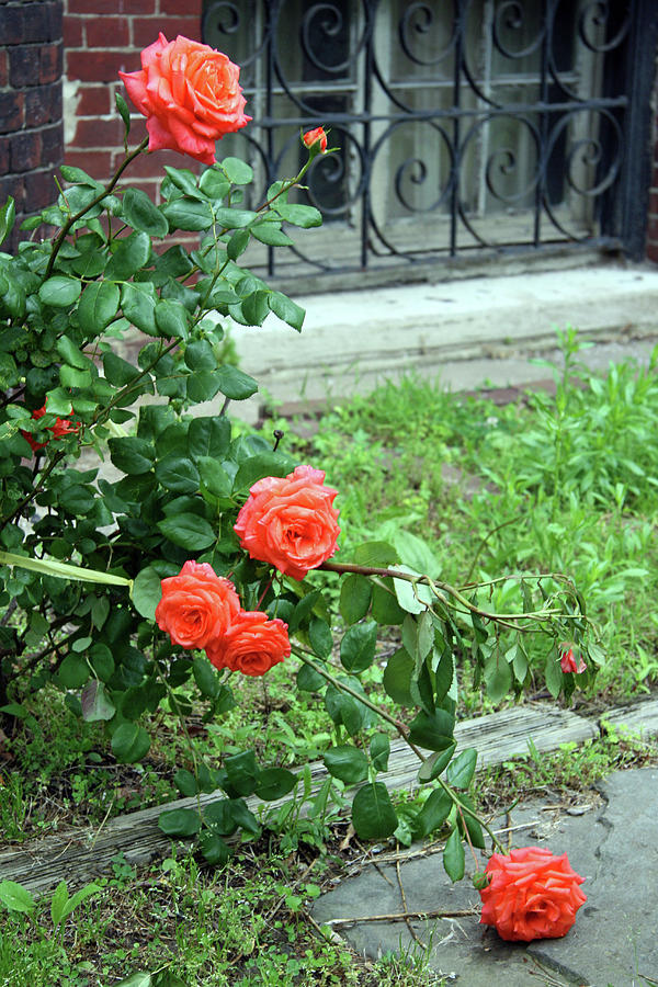 A Rose Is Down Photograph