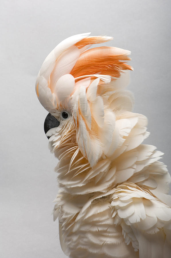 Photography Photograph - A Salmon-crested Cockatoo by Joel Sartore