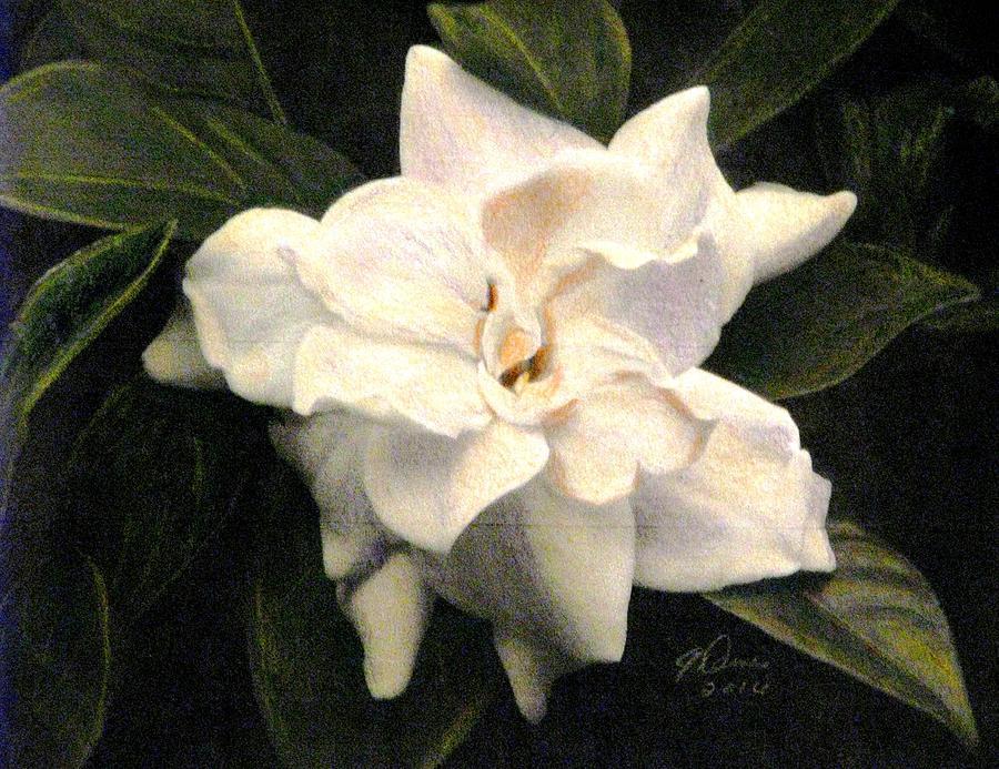 White Gardenias Drawing - A Scent Of Gardenia by Angela Davies