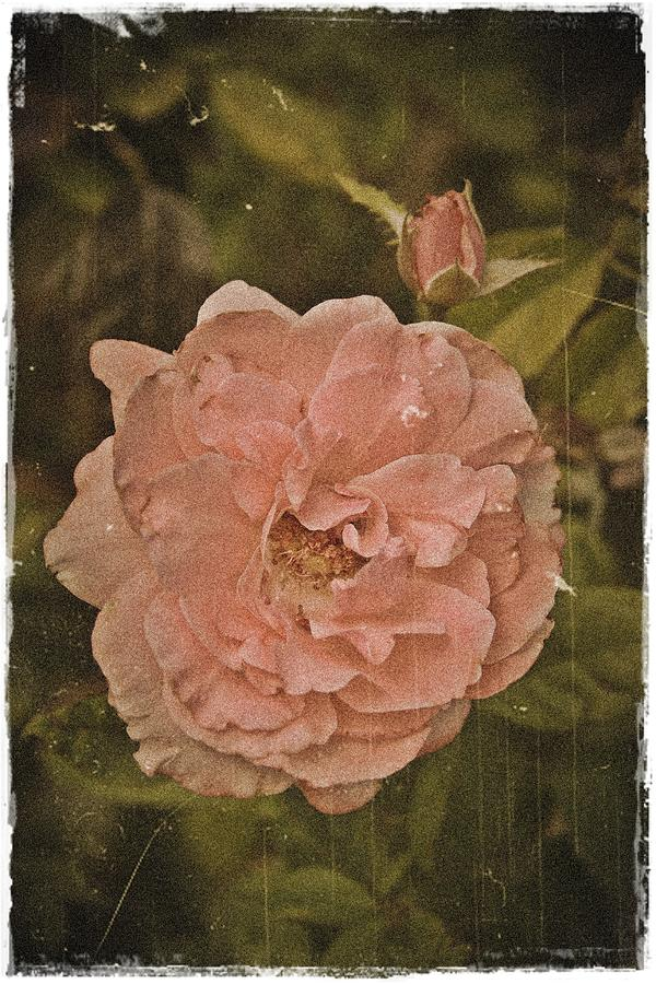 Rose Photograph - A Shabby Rose by Theresa Higby