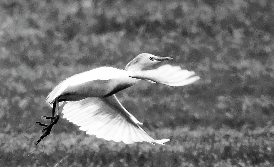Cattle Egret Photograph - A Short Flight BW by Norman Johnson