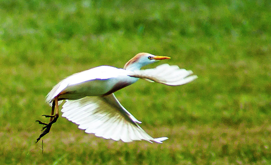Cattle Egret Photograph - A Short Flight by Norman Johnson