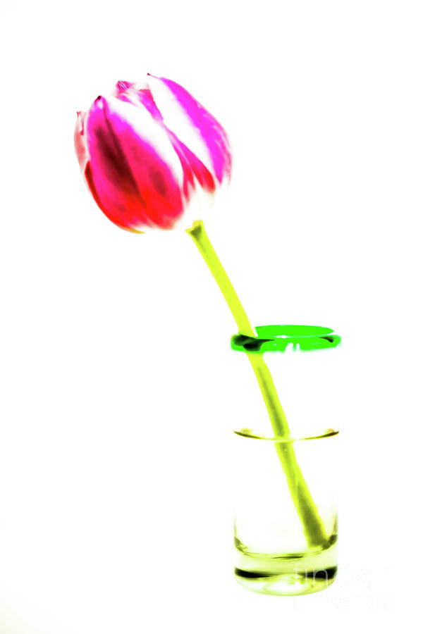 Tulip Photograph - Tulip Shot by DiFigiano Photography