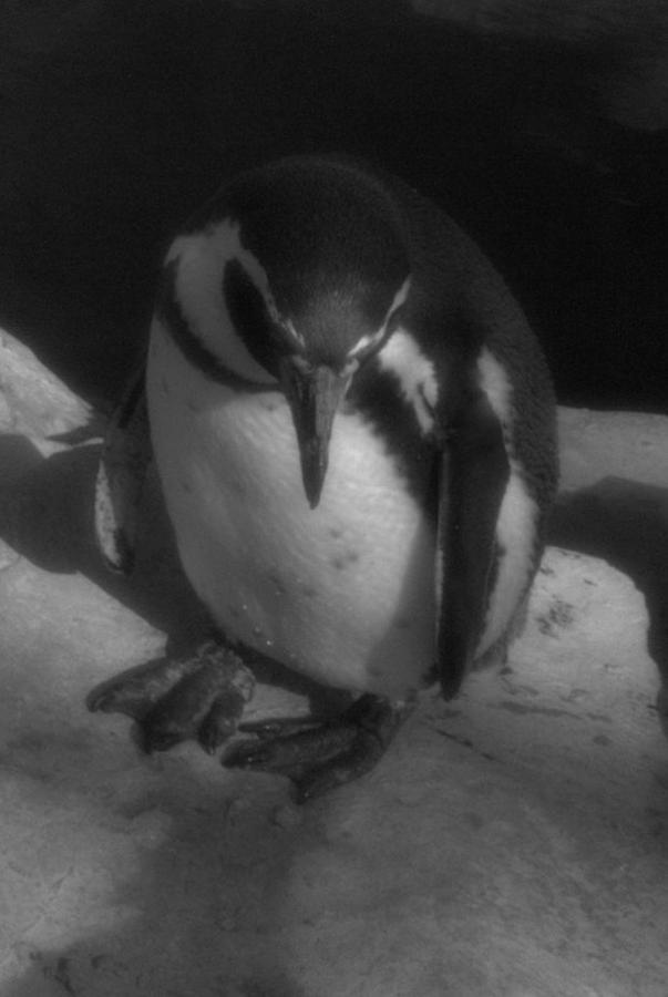 Penguin Photograph - A Shy One by Karen King