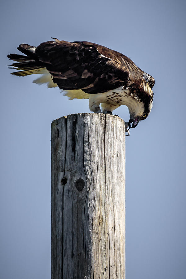 Osprey Photograph - A Sign Of Spring by Albert Seger