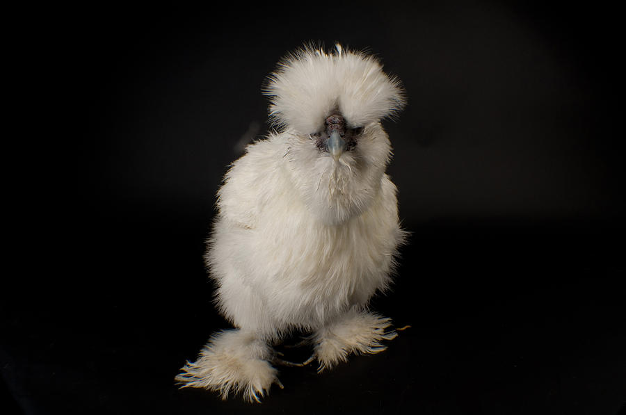 Property Released Photography Photograph - A Silkie Bantam Chicken Gallus by Joel Sartore