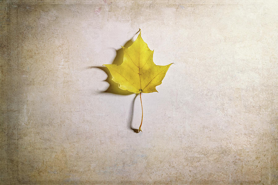 Maple Leaf Photograph - A Single Yellow Maple Leaf by Scott Norris