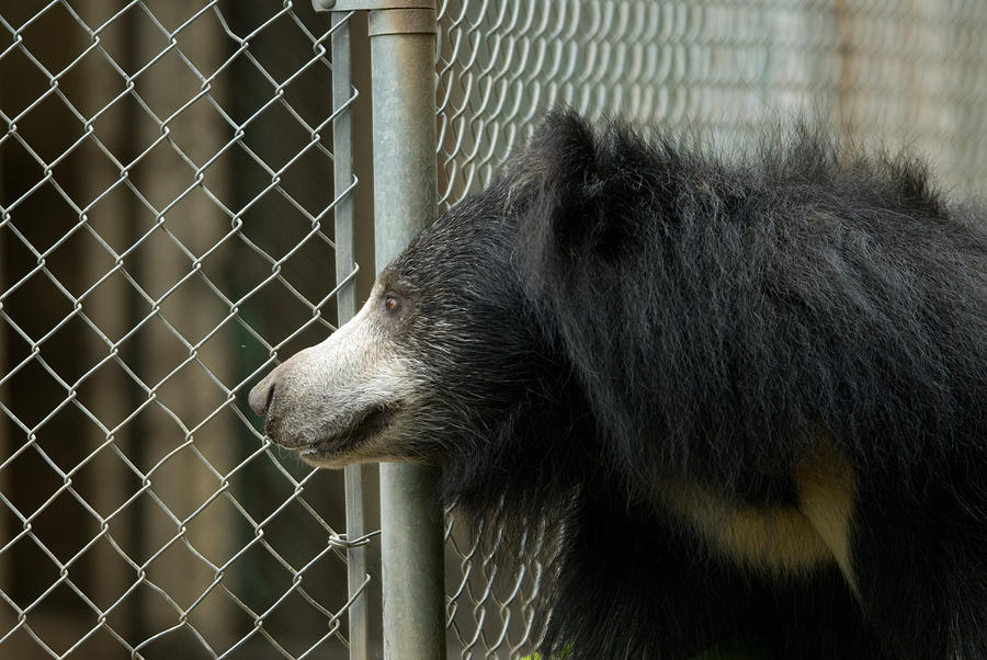 Captive Animals Photograph - A Sloth Bear Melursus Ursinusat by Joel Sartore