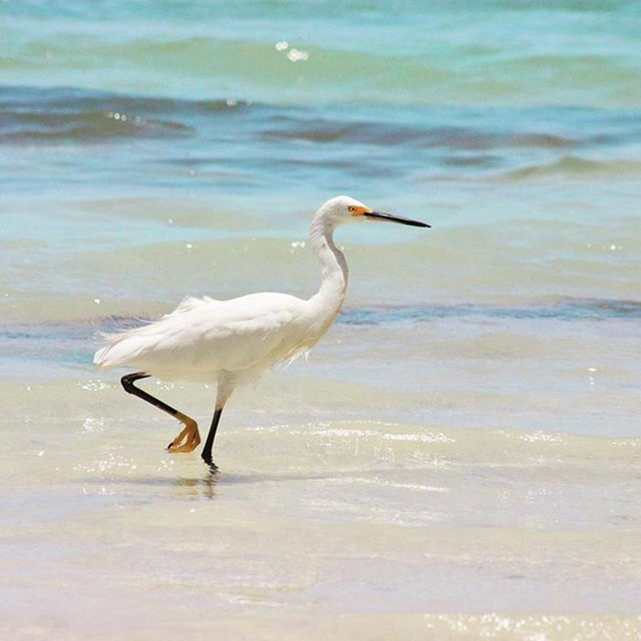 Egret Photograph - A Snowy Egret (egretta Thula) At Mahoe by John Edwards