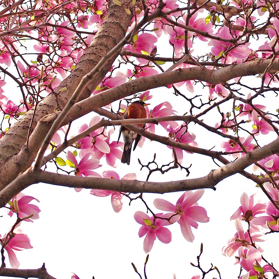Magnolia Photograph - A Songbird in the Magnolia Tree by Rona Black