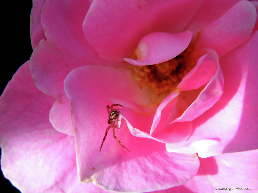 Spider Photograph - A Spider And A Rose by Kimmary MacLean