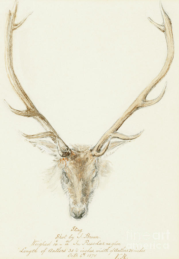 Stag Drawing - A stag shot by John Brown by Queen Victoria