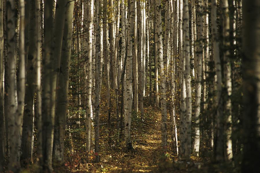 North America Photograph - A Stand Of Birch Trees Show by Raymond Gehman