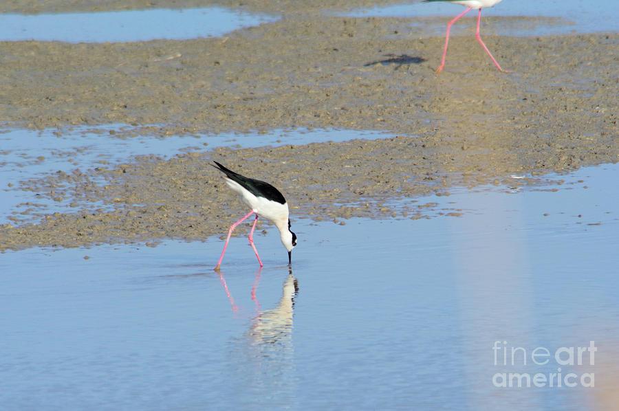Still Photograph - A Stilt Drinking Its Reflection by Jeff Swan