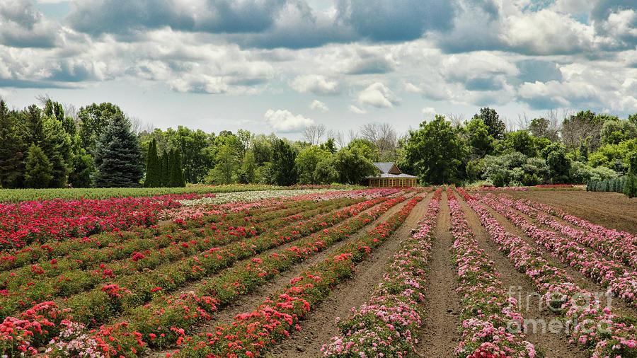 Niagara Photograph - A Summer Dream Of Roses by Marilyn Cornwell