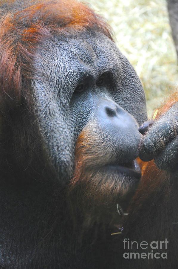Orangutan Photograph - A Tang Profile by Lana Raffensperger